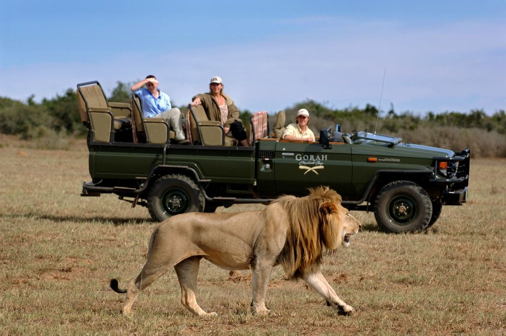 GEC Game Drive with Lion.jpg