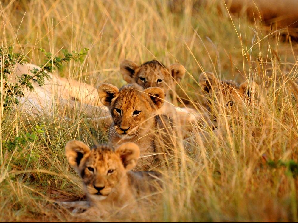 lion-cubs-in-grass.jpg