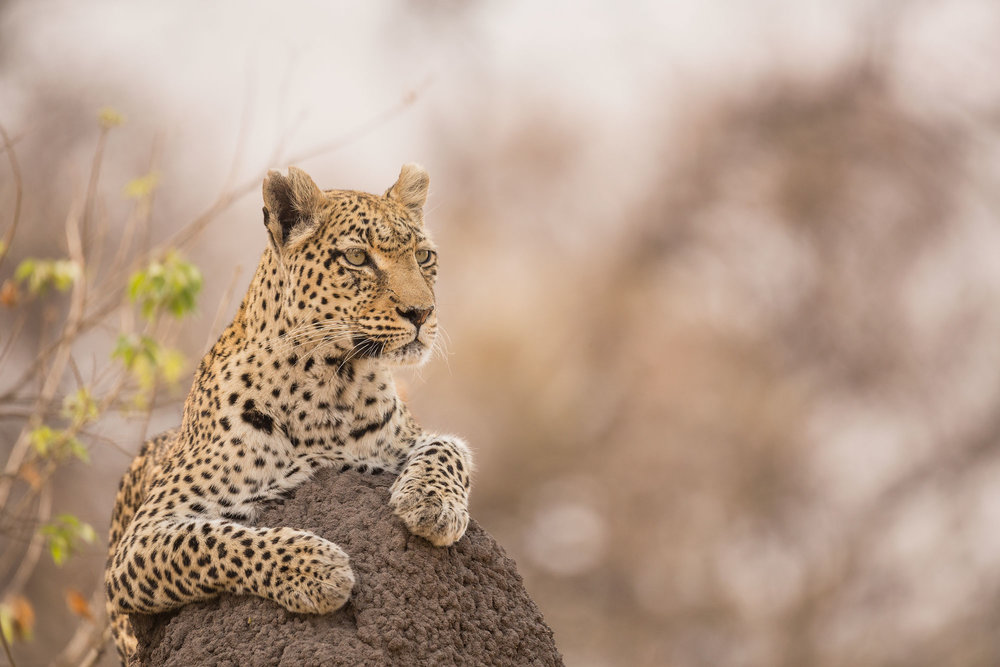 Le Parc National Kruger - Au cœur du Lowveld en Afrique du Sud se trouve un sanctuaire de la faune comme aucun autre, son atmosphère est si unique qu'il permet de se plonger dans la véritable qualité de l'Afrique.