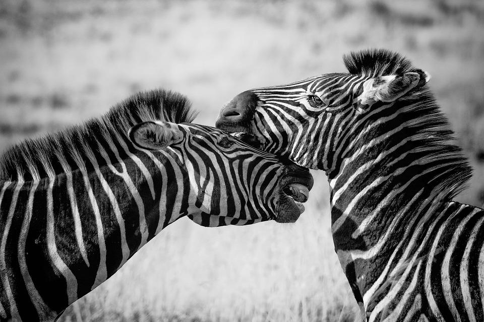 Le Parc National Kruger - Avec ses 20 000km2 de superficie, il y a de quoi passer de nombreuses heures à rouler (à 50km/h) pour observer la flore, les paysages et de jolies bestioles dont le fameux big five : le lion, le léopard, l'éléphant, le buffle et le rhinocéros .