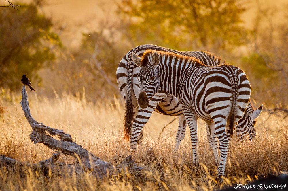 agence_de_voyage_vacance_afrique_safari_le_parc_national_kruger_afrique_du_sud_capoupascap_cap_ou_pas_cap_voyage_safari_tente_de_lux_Sanbona_Bayethe_Lodge_07.jpg