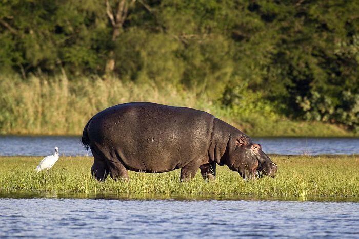Coastal-Maputaland-Hippopotamus-BS44197291.jpg