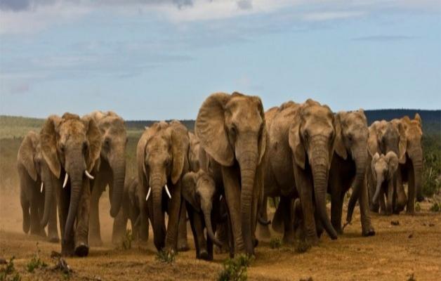 Agence_de_voyages_basée_en_Afrique_Tours_et_voyage_à_Cape_Town_et_les_vignobles_Voyage_de_noces avec_CapOuPasCap_Voyage_la_route_des_jardins_addo_elephant1.jpg