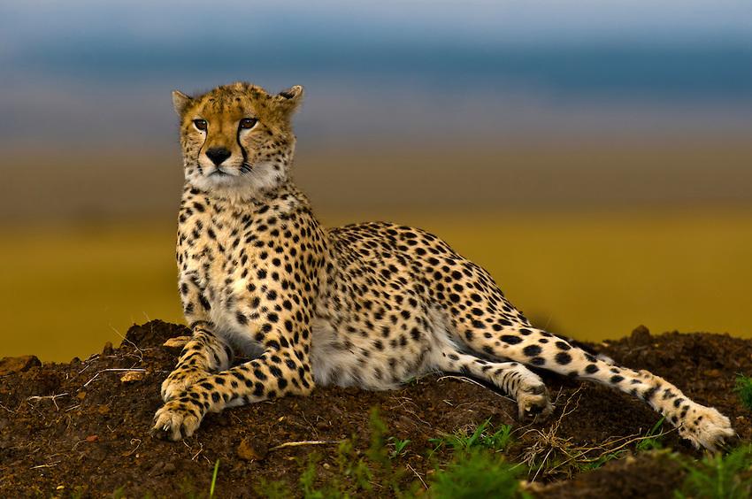 cheetah20080610-africa-07885.jpeg
