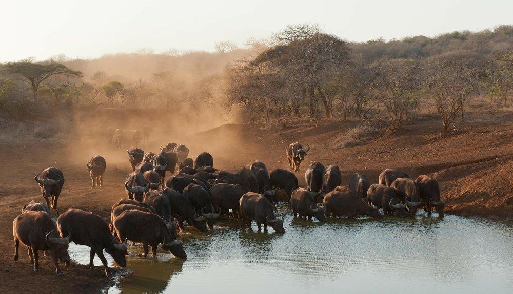 buffalo-235382_1920.jpg