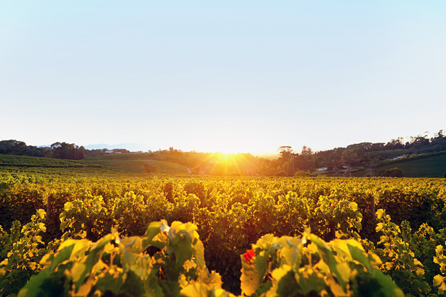Constantia-Glen-vineyards-HR.jpg