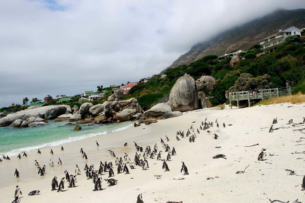 General CTT Images - Beaches - Penguins at Boulders Beach_CTT.jpg-min.jpg