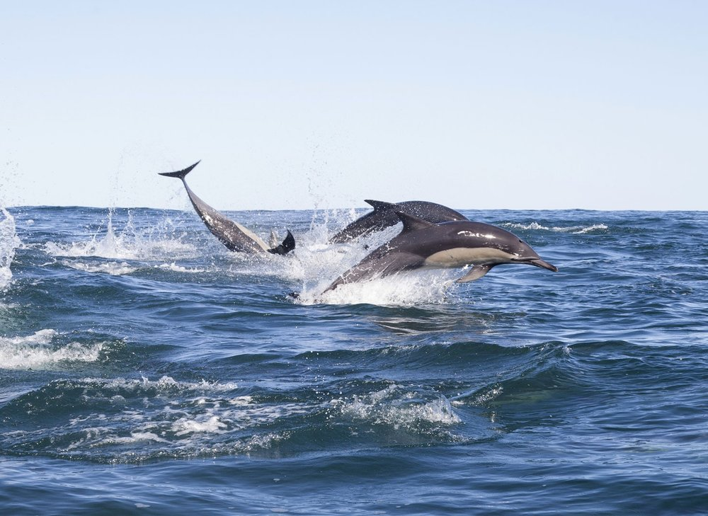 nws-st-south-africa-sardine-run-dolphins.jpg