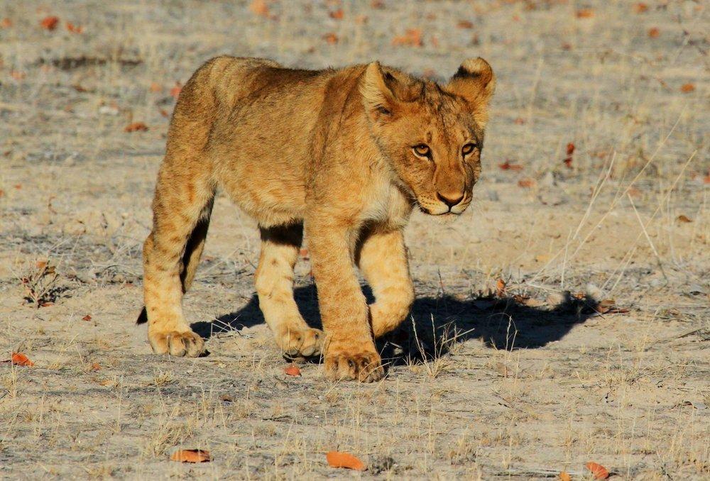 lion-1305797-min.jpg