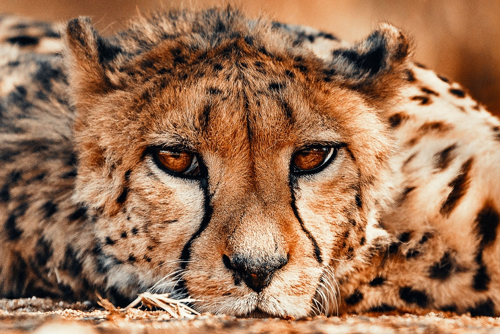 okonjima_cheetah_luxury_safari-1.jpg