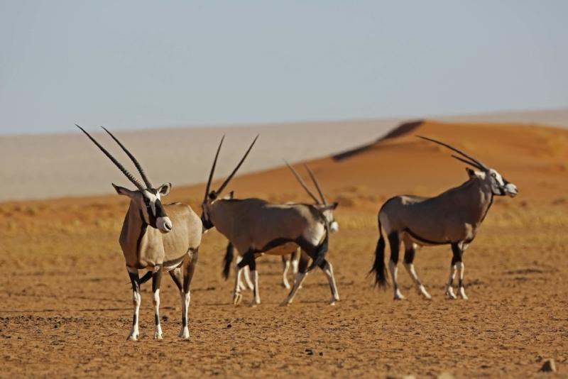 La Namibie - Le parc national d'Etosha, situé sur un immense marais qui se dessèche complètement pendant un mois d'hiver, offre un spectacle safari de désert unique et spectaculaire. Ceci est une expérience totalement unique et une manière différente de partir en safari.