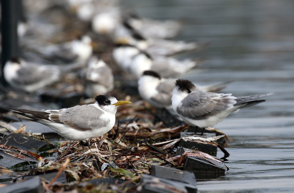 Creasted-Tern--Oyster-rack--Merimbula--Purnell.jpg