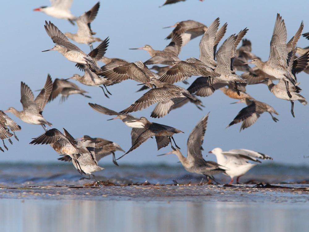 disturbed Bar-tailed Godwit crop- Purnell.jpg