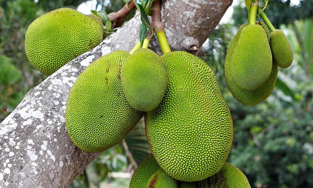Oddly cuddly, for something so spiky / More on the pull of the Jackfruit at The Guardian