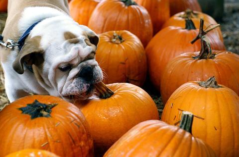 dog eating pumpkin.jpg