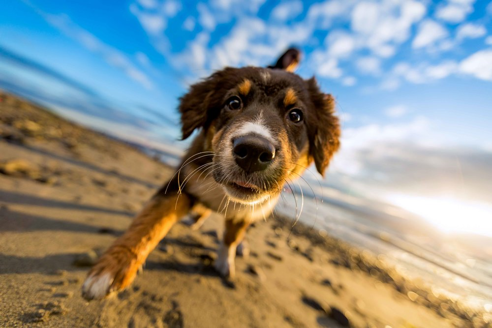 Roo at the beach | Seattle Dog Photography