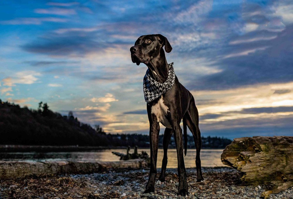 Lennox at Sunset | Seattle Dogs