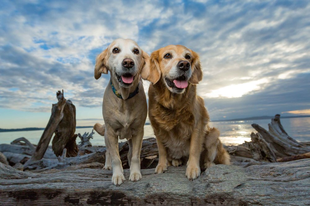 Gracie and Lucy | Golden Retrievers | West Seattle