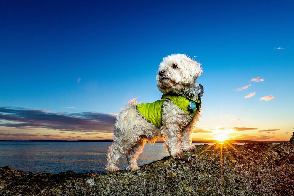 Suz Sunset West Seattle Dogs