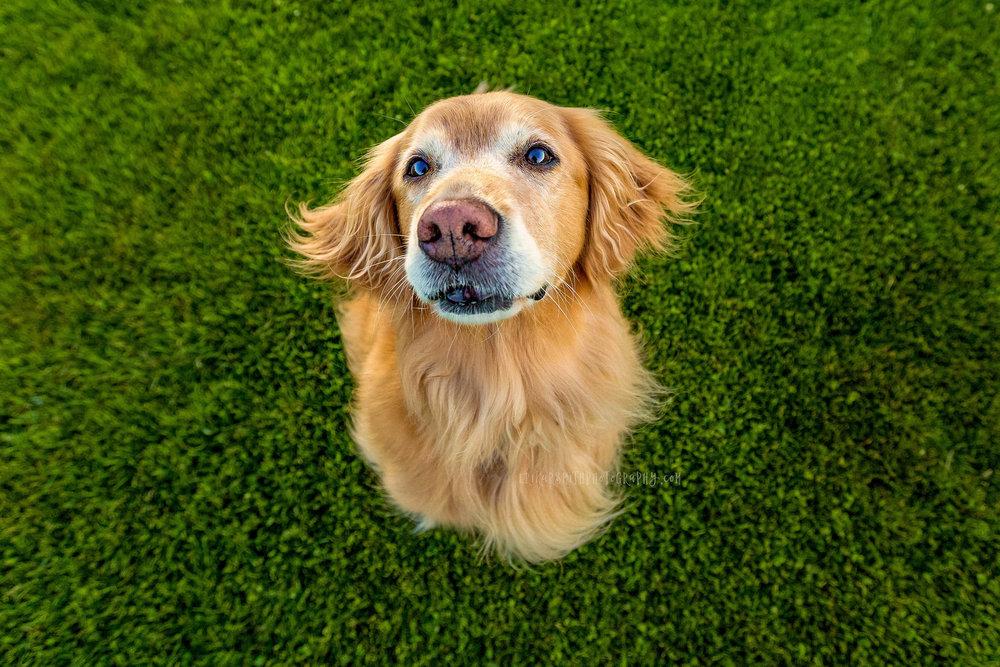 Lola and green grass | Seattle Golden Retriever