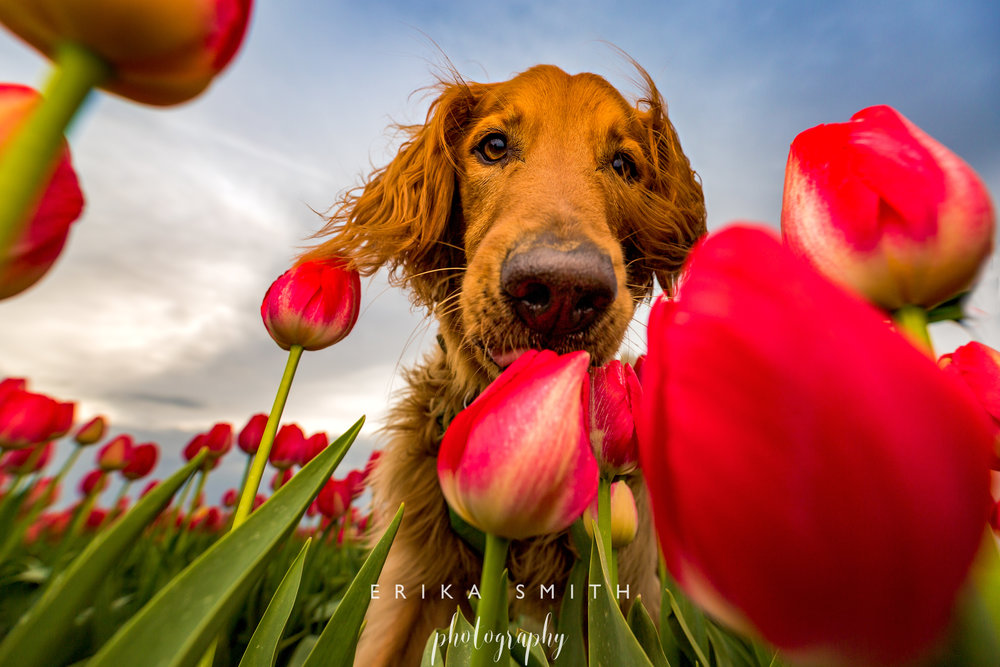 Riley Red Tulips