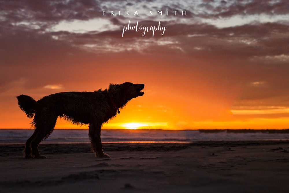 Howling Dog at Sunset