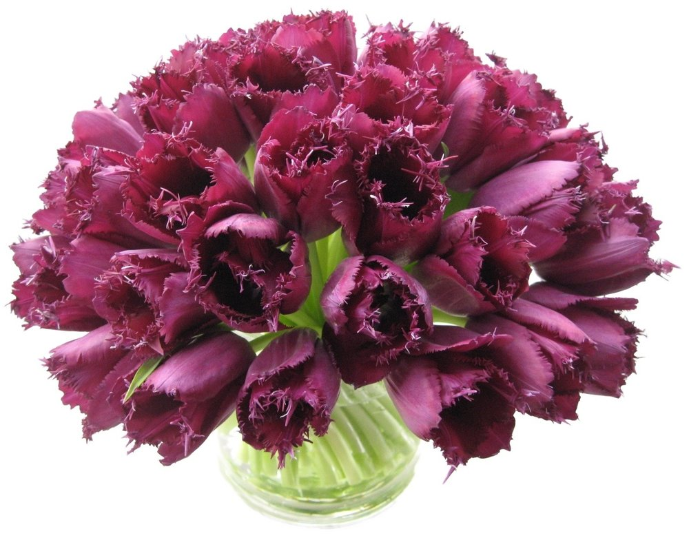 Purple Fringe Tulips