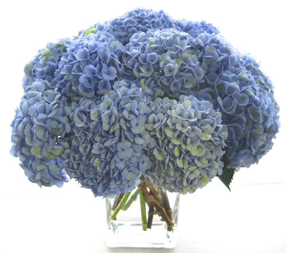 Aqua Blue Hydrangea