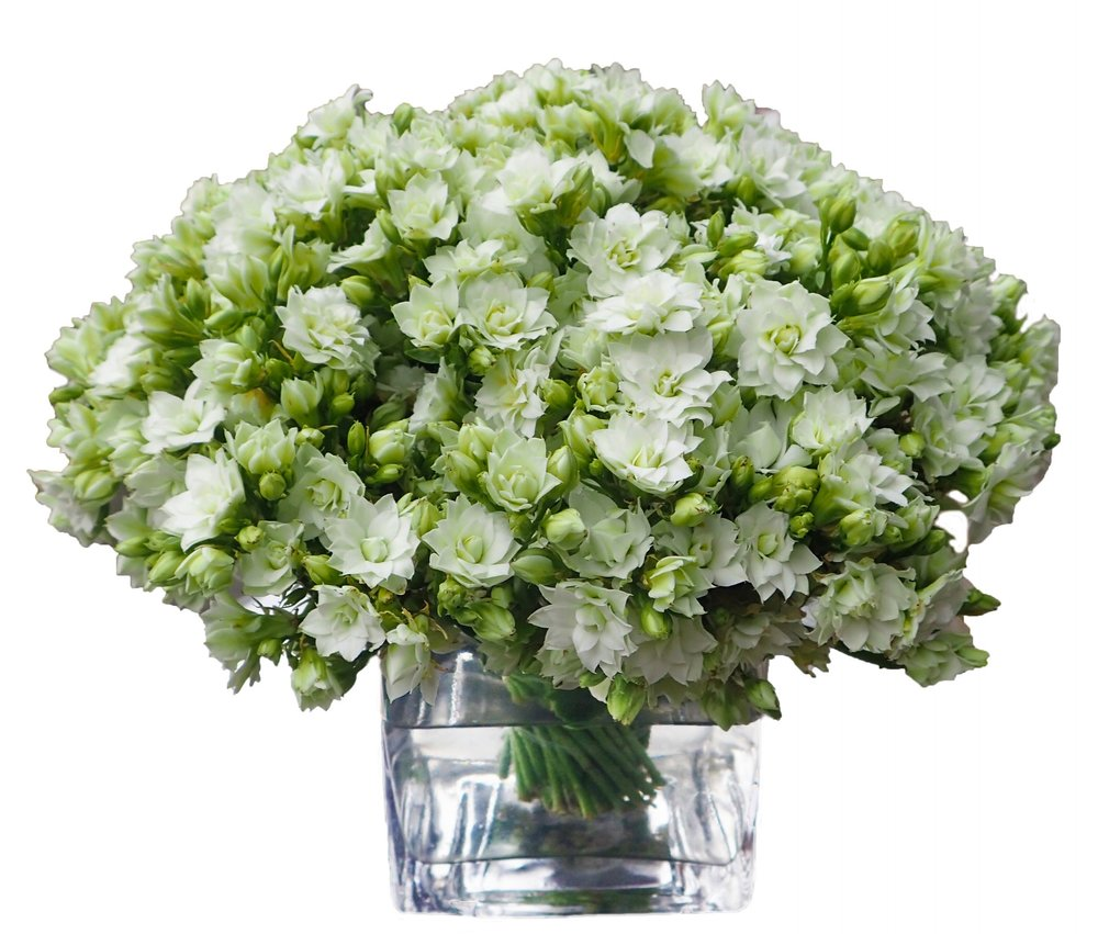 White Kalanchoe, from $125