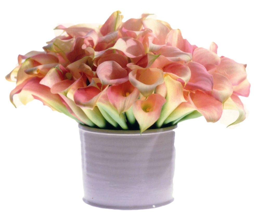 Blush Mini Callas