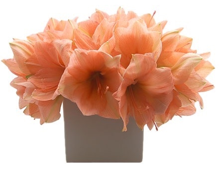Pale Orange Amaryllis