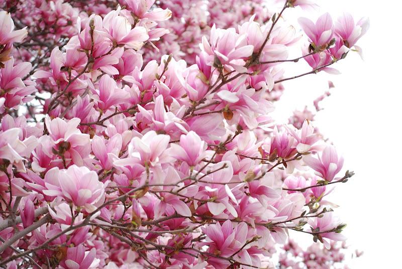 Magnolia (1).JPG
