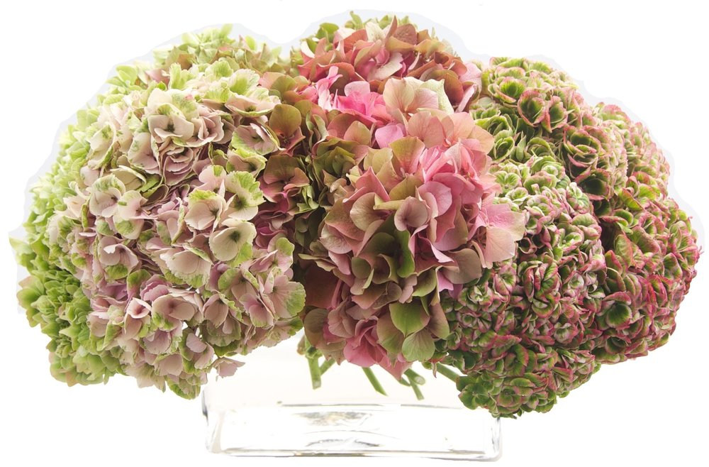 Pink and Green Hydrangea