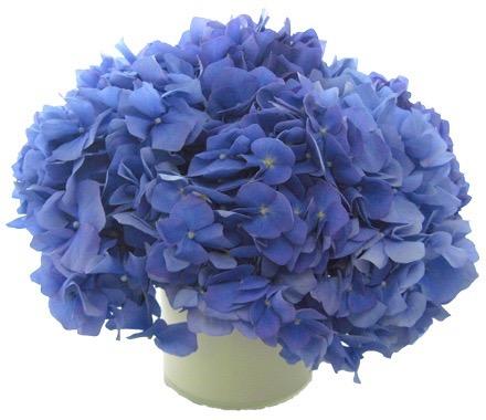 Cobalt Blue Hydrangea starts at $175