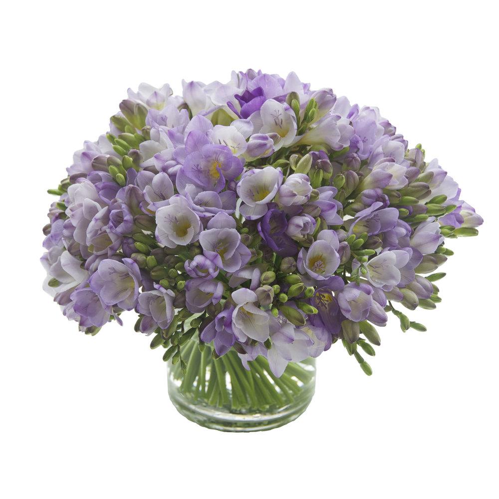 Purple Freesia