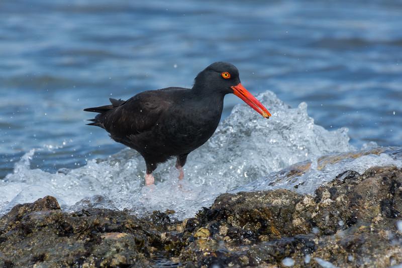 Black Oystercatcher, common year-round