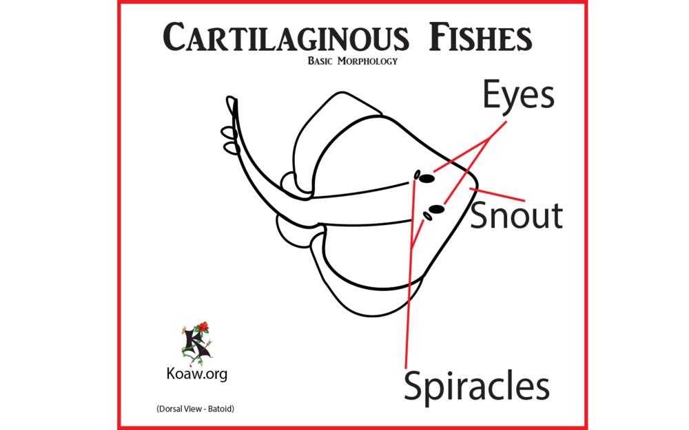 Cartilaginous Fishes Parts Batoid Dorsal View.png