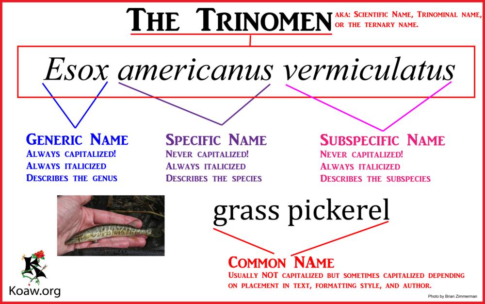 The Trinomen whitebg.png