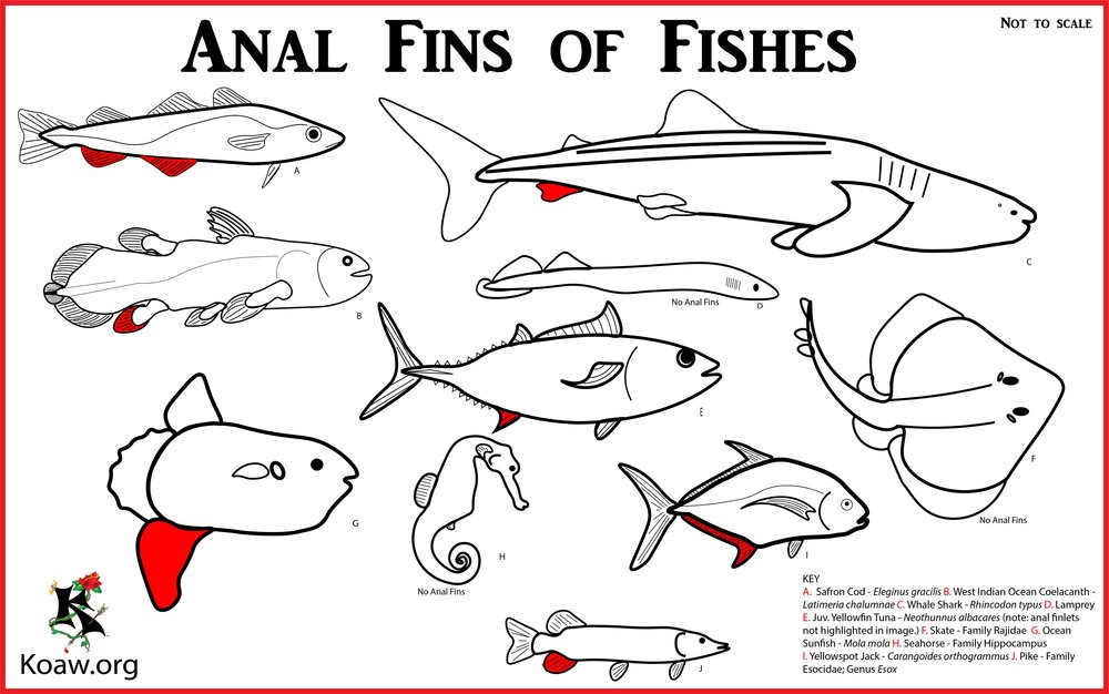 Anal Fins of Fishes - Illustration by Koaw