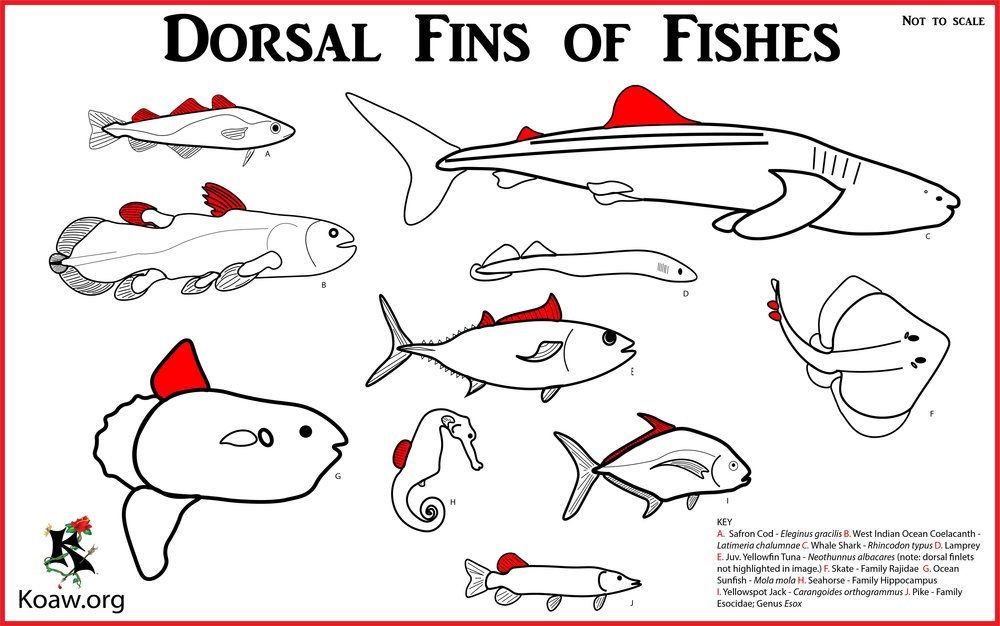 Koaw Illustrations Fish Identification - Morphology, Anatomy ...