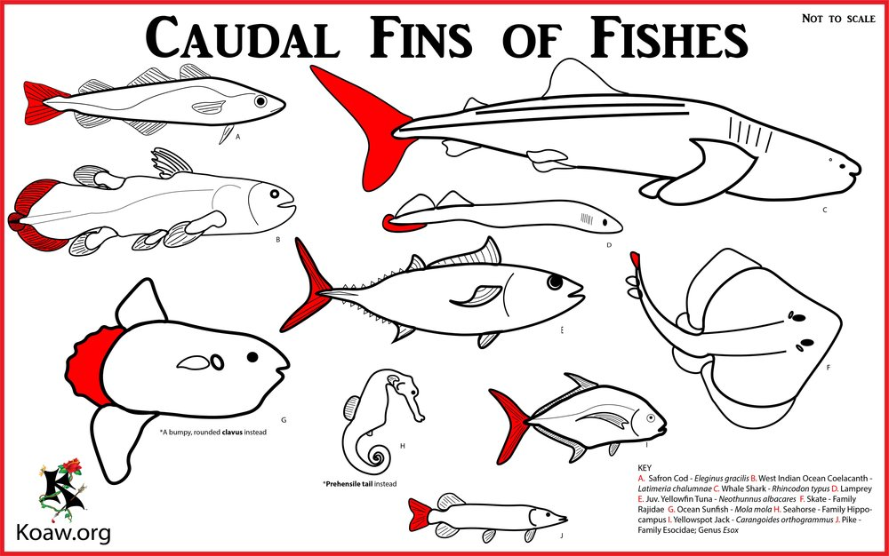 Caudal Fins of Fishes (Tailfins) - Illustration by Koaw