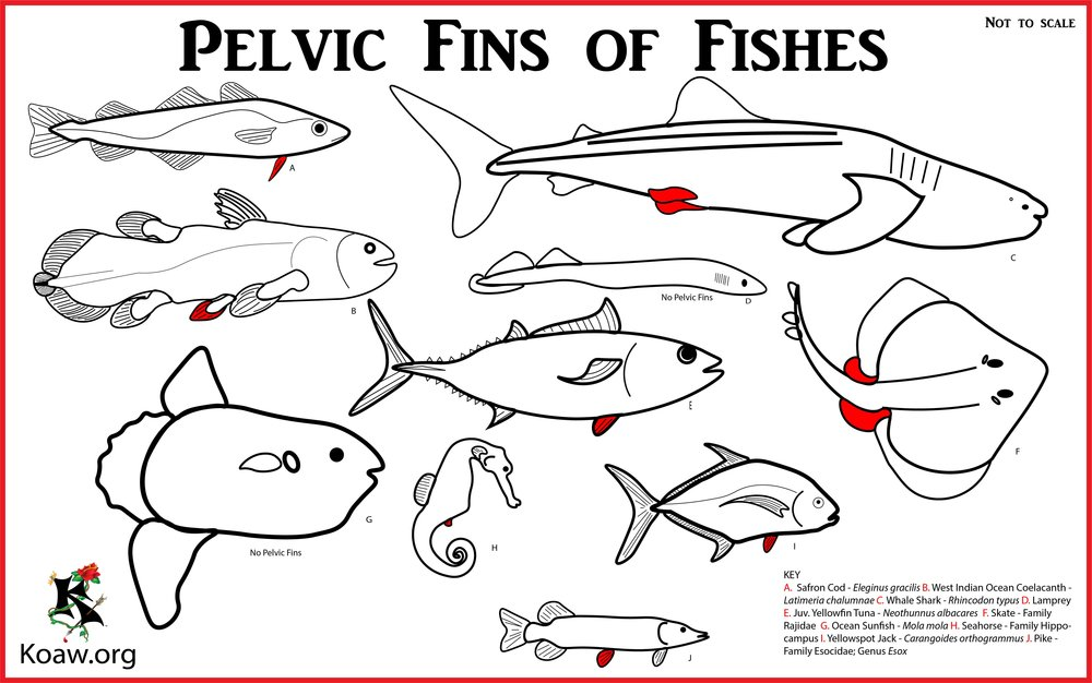 Pelvic Fins of Fishes - Illustration by Koaw