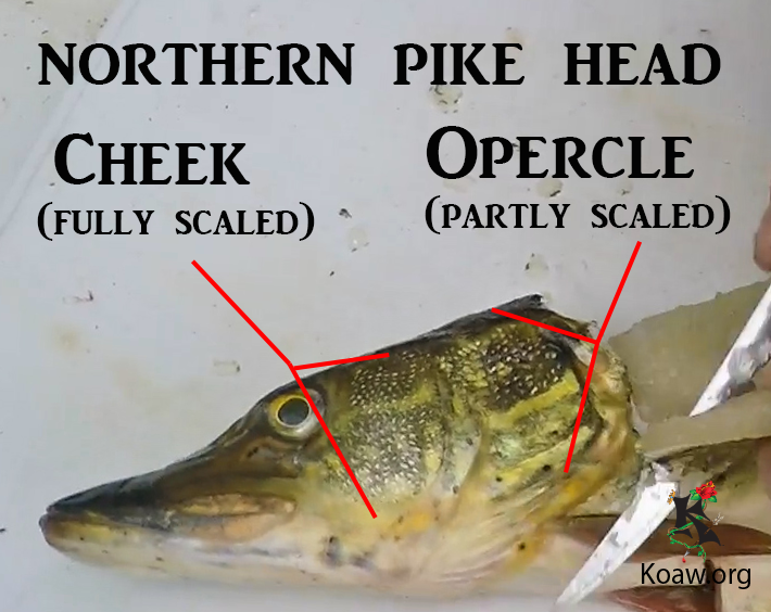 Cheek and Opercle Scales on N. Pike - Illustration by Koaw