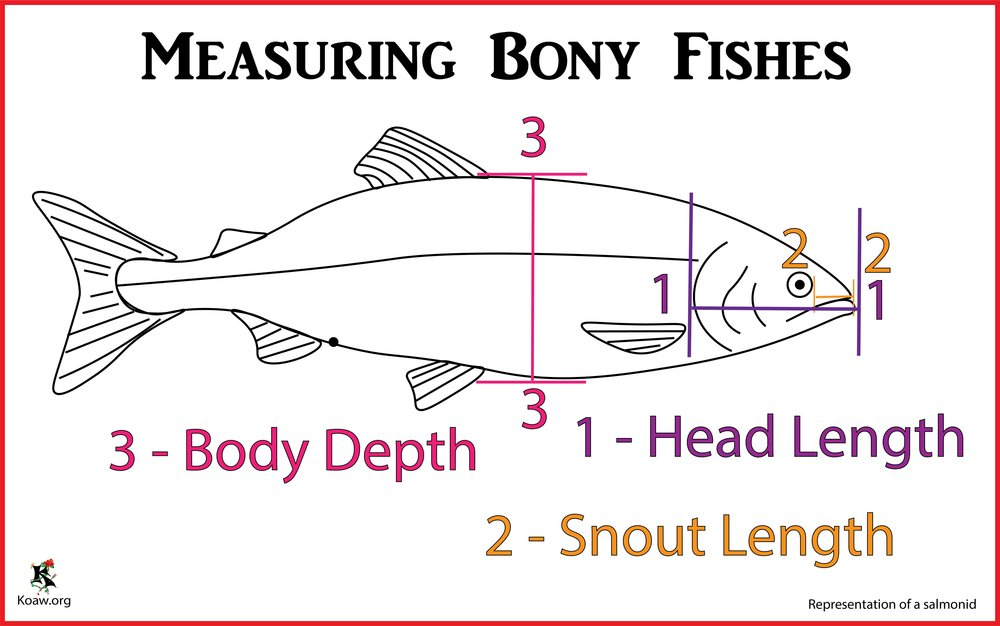 Measuring Fishes Head Length, Snout Length & Body Depth - Illustration by Koaw