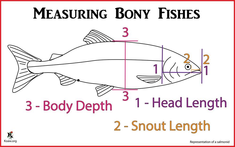 Koaw Illustrations Fish Identification - Morphology, Anatomy ...