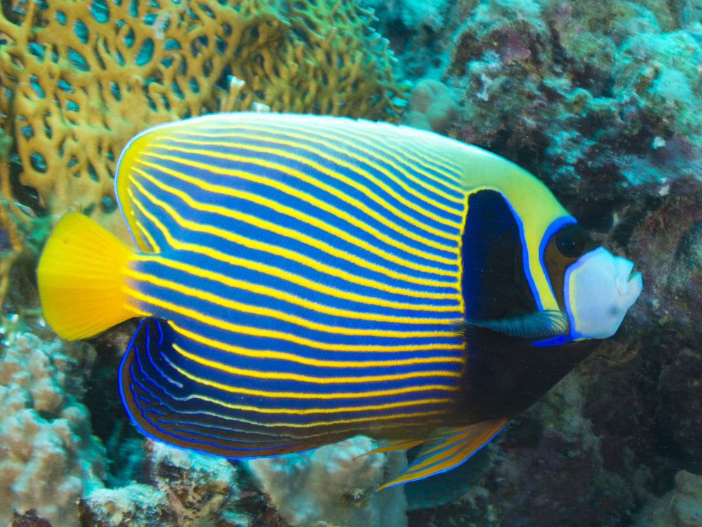Adult emperor angelfish - Photo by Albert Kok
