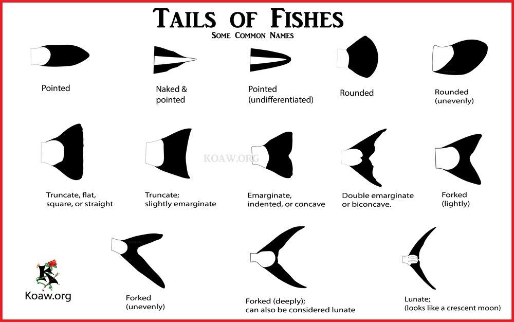 Basic Tail Names KoawOrg.jpg