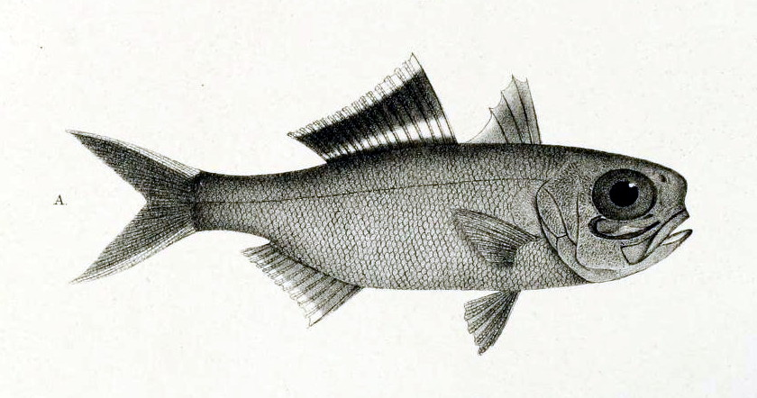 Anomalops katoptron  - splitfin flashlightfish; this fish inhabits about 200-400 meters, in the mesopelagic, or twilight zone.  Notice the large eyes.  Source: Journal Museum Godoeffroy Public Domain