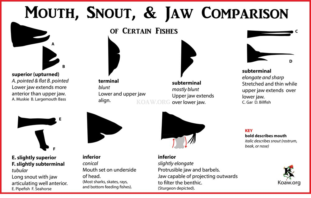 Fish Mouth, Snout, & Jaw Comparison - Image by Koaw