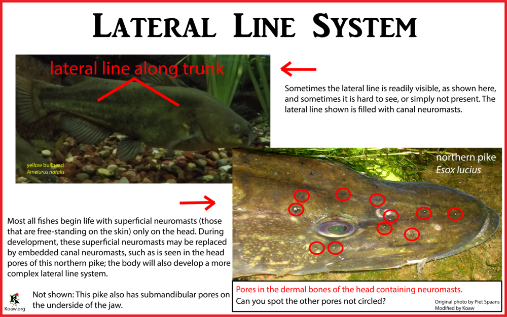lateral line system in fishes pdf